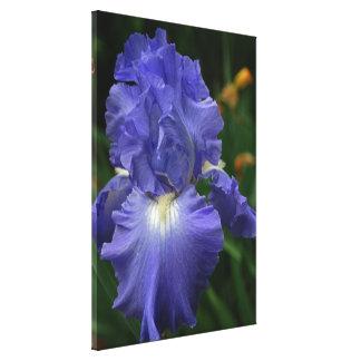Brilliant Purple Iris Flower Stretched Canvas Prints