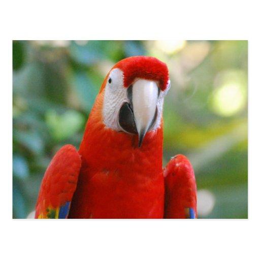 Brilliant Red Parrot Postcard