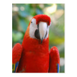 Brilliant Red Parrot Postcard