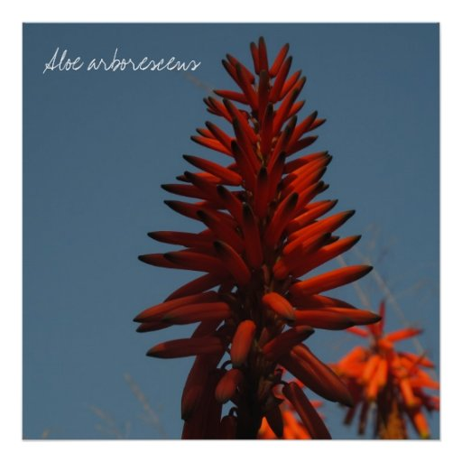 Brilliant Red Succulent Flower Print