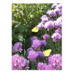 Brimstone Butterflies in the Herb Garden Postcard