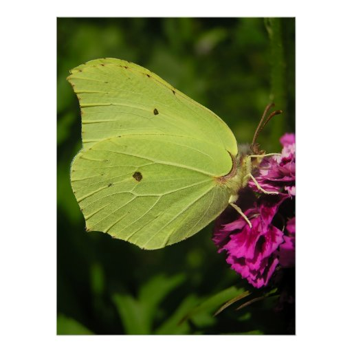 Brimstone butterfly poster