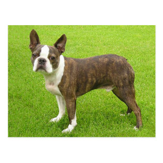 Brindle Boston Terrier Puppy Dog Thinking of You Postcard