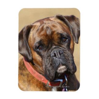 Brindle Boxer Dog Magnet