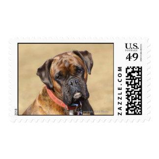 Brindle Boxer Dog Postage Stamp