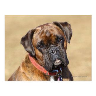 Brindle Boxer Dog Post Card
