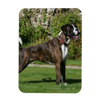 Brindle Boxer Dog Show Stance Magnet