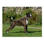 Brindle Boxer Dog Show Stance Postcard
