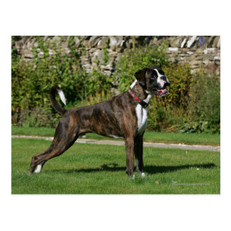 Brindle Boxer Dog Show Stance Post Cards