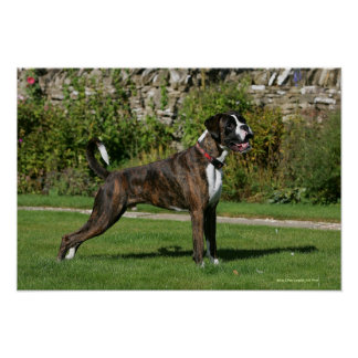 Brindle Boxer Dog Show Stance Posters