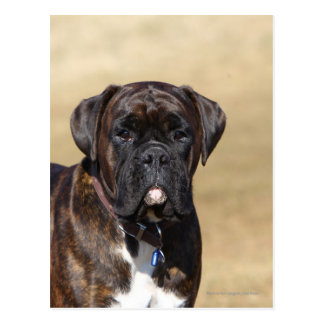 Brindle Boxer Dog Standing Post Card
