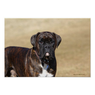 Brindle Boxer Dog Standing Posters