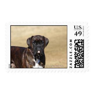 Brindle Boxer Dog Standing Stamp