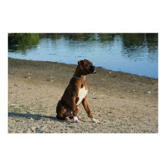 Brindle boxer puppy poster