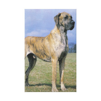 Brindle Great Dane wrapped Canvas