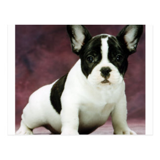Brindle_pied_french bulldog puppy.png postcard