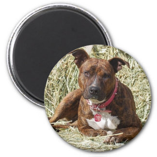 Brindle Pit Bull on Hay Magnet