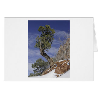 Bristlecone Pine 2 Card