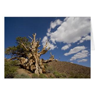Bristlecone pine in Ancient Bristlecone Forest, Card