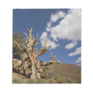 Bristlecone pine in Ancient Bristlecone Forest, Notepad