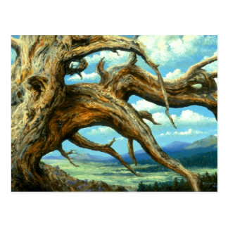 Bristlecone Pine Postcard