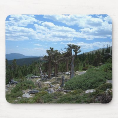 Rust on Foxtail Pine stem canker, Dean Burton
