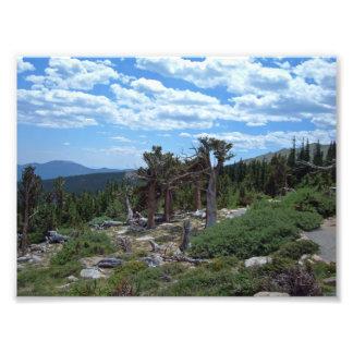 Bristlecone Pine Tree Photo Print