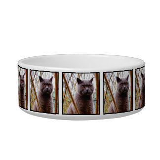 British blue shorthaired cat bowl