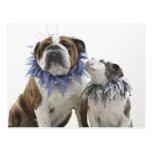 British bulldog and puppy wearing jester collar, postcard