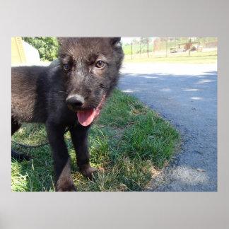 British Columbian Wolf Pup Poster