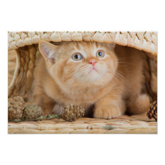 British Kitten Looking Out From Under A Basket Poster