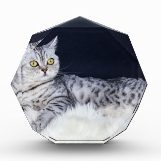 British short hair silver tabby cat lying on fur award