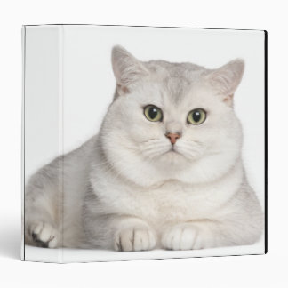 British Shorthair (2 years old) lying in front Binder
