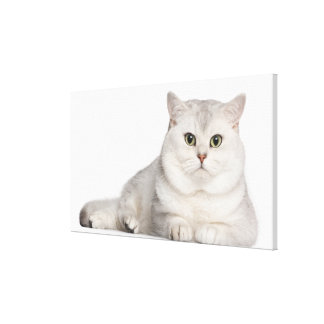 British Shorthair (2 years old) lying in front Canvas Print