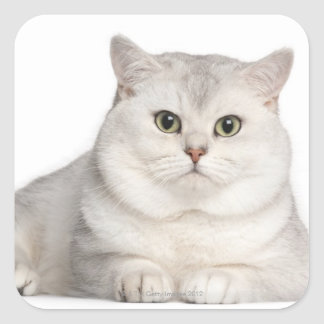 British Shorthair (2 years old) lying in front Square Sticker
