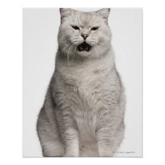 British Shorthair (4 years old) Poster