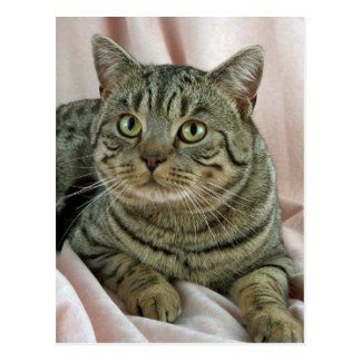 British Shorthair, brown spotted Post Card