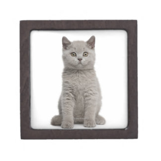 British Shorthair Kitten (10 weeks old) 2 Gift Box