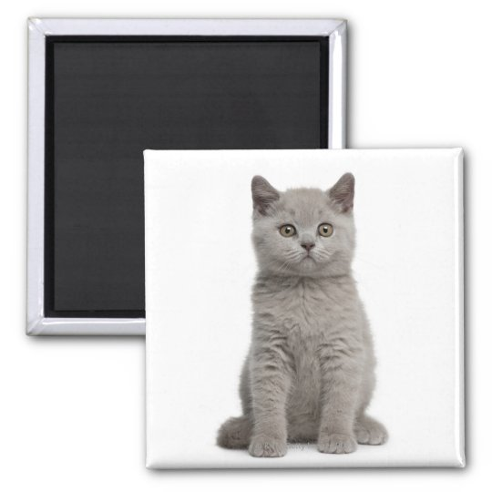 British Shorthair Kitten (10 weeks old) 2 Magnet