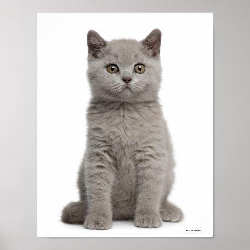 British Shorthair Kitten (10 weeks old) Posters