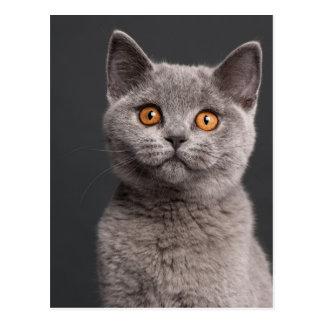 British Shorthair kitten (3 months old) Postcard