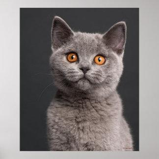 British Shorthair kitten (3 months old) Poster