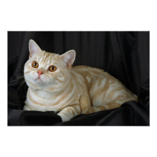 British Shorthair, red silver tabby Poster