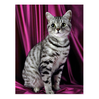 British Shorthair, silver spotted Post Card