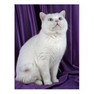 British Shorthair, white Postcard