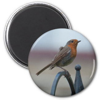 British Song Birds: Robin Fledgling Magnet