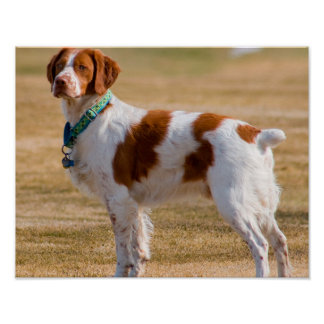 Brittany Spaniel Dog Beautiful Poster
