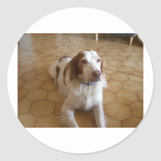 brittany spaniel laying.png classic round sticker