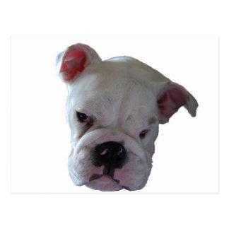 Brittish Bulldog puppy Postcard