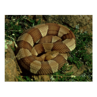 broad-banded copperhead snake postcard